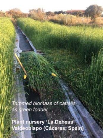 Spanish nursery of aquatic plants develops new applications of cattails biomass
